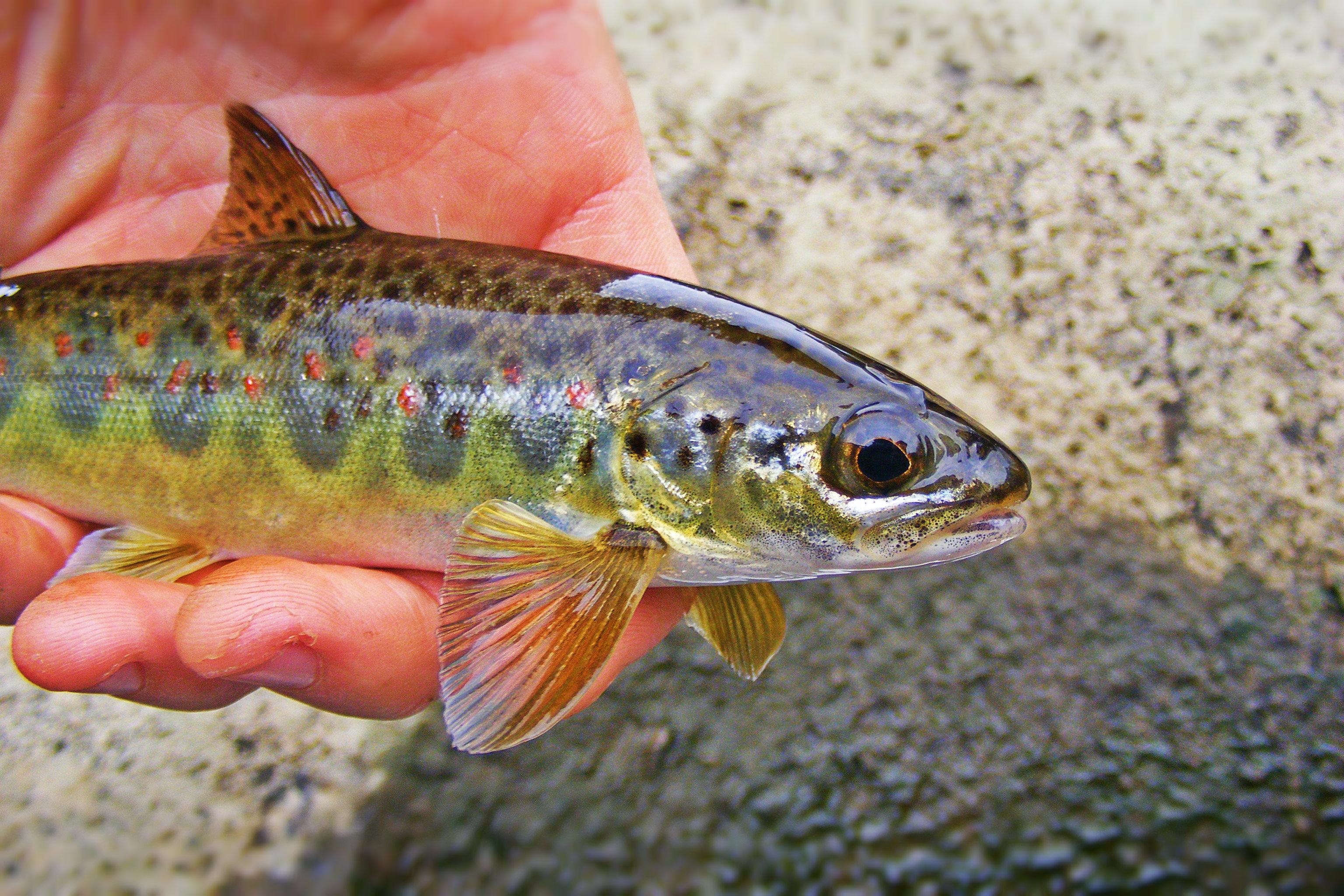 The deerfield river part ii for Deerfield river fly fishing